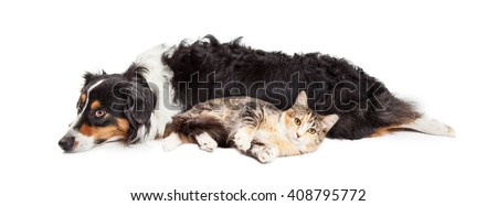 Large dog and tabby cat laying together on white background - stock photo