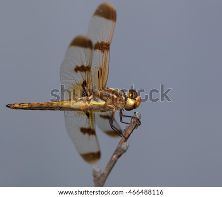 Large dragonfly on a stick seen from slightly below