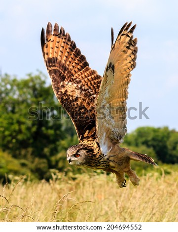 Large Eagle Owl flies low over a grassy meadow - stock photo