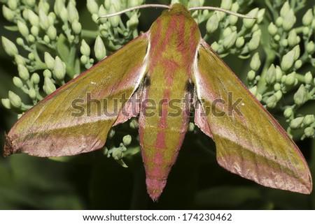 Large elephant hawk moth, Deilephila elpenor, moth on plant - stock photo