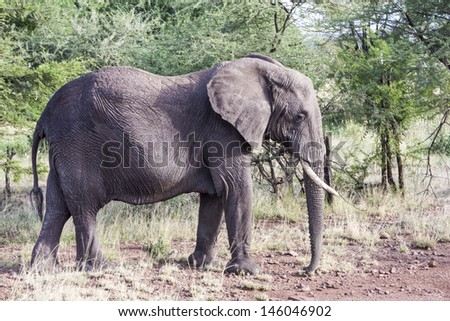 Large Elephant In Tanzania
