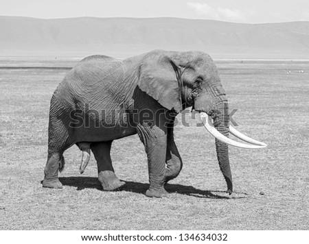 Large elephant male in Crater Ngorongoro National Park - Tanzania, Eastern Africa (black and white) - stock photo