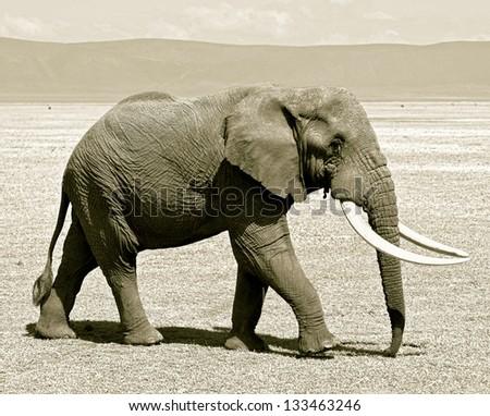 Large elephant male in Crater Ngorongoro National Park - Tanzania (stylized retro) - stock photo