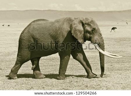 Large elephant male in the Crater Ngorongoro National Park - Tanzania, Eastern Africa (stylized retro) - stock photo