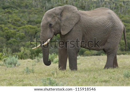 Large elephant standing and resting in a field of green grass - stock photo
