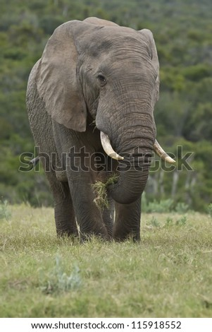 Large elephant standing in a field of green grass while eating - stock photo