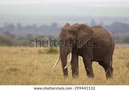 Large elephant walking - stock photo