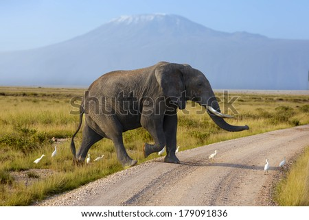 Large elephant with a   Mount Kilimanjaro in the background  - stock photo