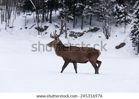 Large elk in winter, forest scene - stock photo