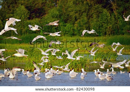 Large flock of gulls at the river bank