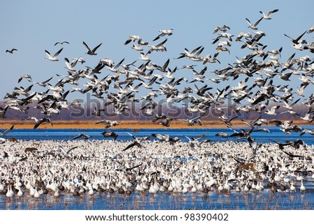 Large flock of migrating snow geese - stock photo