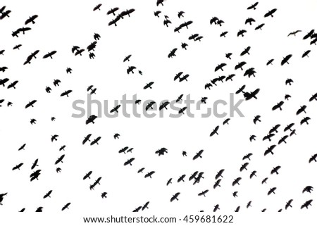 Large flock of ravens birds flying in the sky - black and white photo with soft focus.