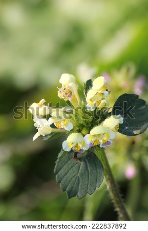 Large-flowered Hemp-nettle (Galeopsis speciosa) with blossoms. - stock photo
