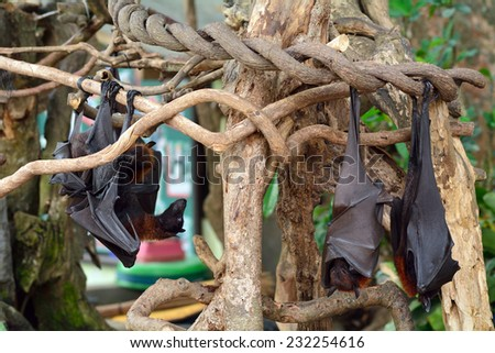Large flying foxes, Bali, Indonesia - stock photo