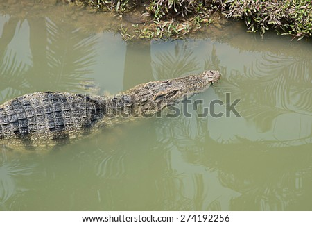 Large freshwater crocodile The natural habitat is very dangerous. - stock photo