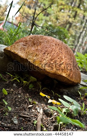 large fungus or mushroom in the back country near Helena, Montana, USA