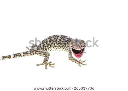 Large Gecko isolated on white background - stock photo