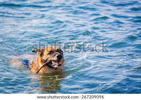 stock-photo-large-german-shepherd-plays-fetch-in-the-waters-of-puget-sound-267209096.jpg