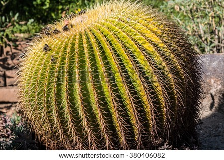 Large Golden Barrel cactus with grassy background.