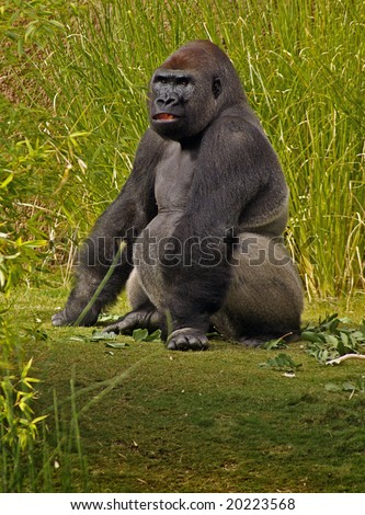 Large Gorilla Sitting Amongst Tall Grasses and Plants - stock photo