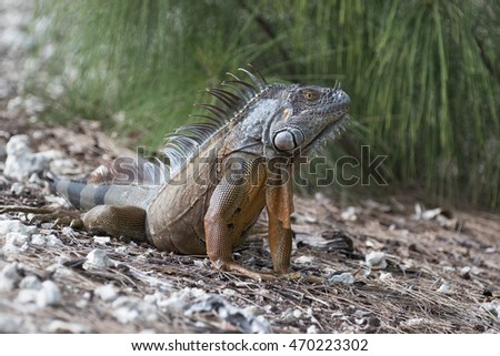 Large Green Iguana basking in the early morning sun