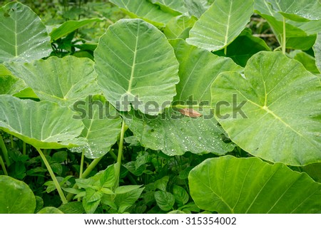 Large green leaves with rain drop