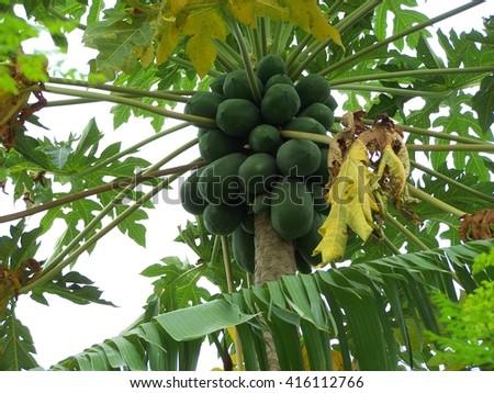 Large green mangos - stock photo
