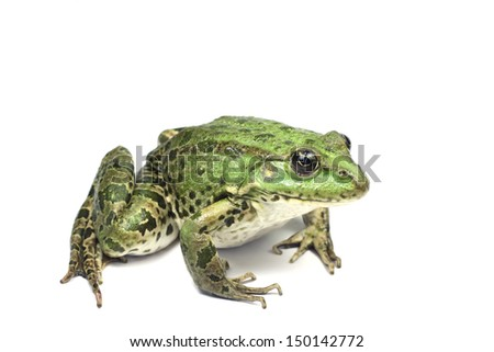 large green marsh frog