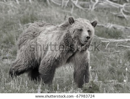 Large Grizzly Bear in Black and White (Also available in color)