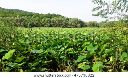 Large Group of Lotus Flowers in the pond. Lake of white water lily landscape.