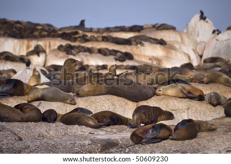 Large group of seals on a rocky island. - stock photo