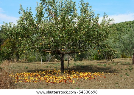 Large group of yellow apples on the ground under apple tree