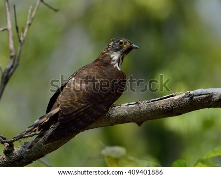 Large hawk-cuckoo (Hierococcyx sparverioides) the eagle hawk with yellow eye rings perching on the tree showing side and back feathers profile
