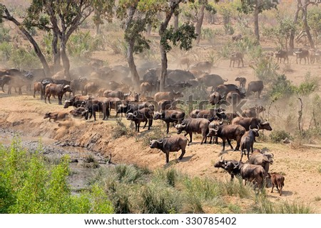 Large herd of African buffaloes (Syncerus caffer) at a river, Kruger National Park, South Africa  - stock photo