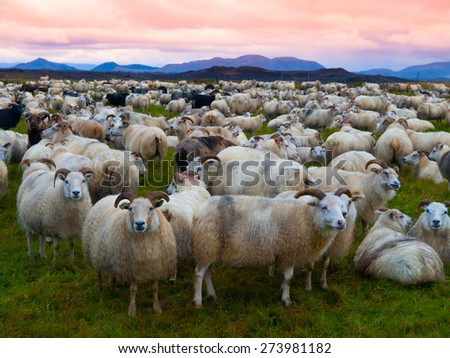 Large herd of sheeps in the evening, Iceland - stock photo
