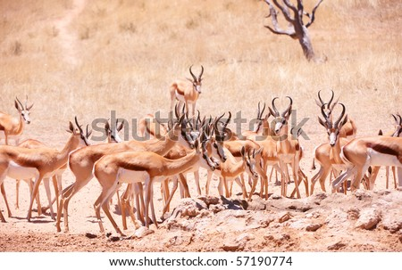 Large herd of Springbok (Antidorcas marsupialis) standing in the nature reserve in South Africa - stock photo