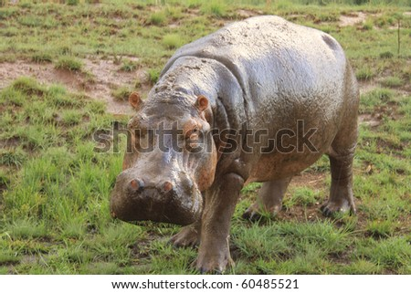 Large hippo out of water and alert in African National Park - stock photo