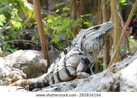 Large iguana resting on a rock - stock photo