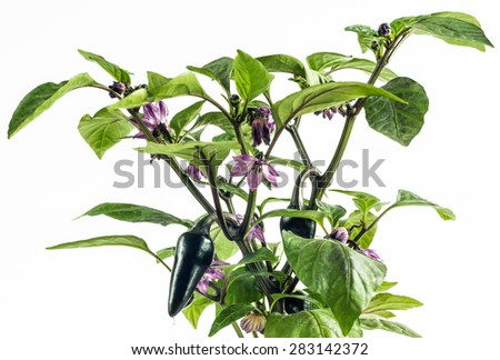 large Jalapeno pepper that turns deep purple before maturing to red. Full Jalapeno flavor and heat; great for salsa and other Mexican foods. Plants both productive and ornamental - stock photo