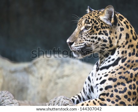 leopard and jaguar hybrid - photo #15
