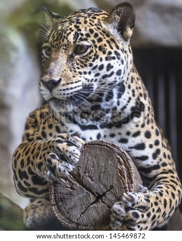 leopard and jaguar hybrid - photo #13