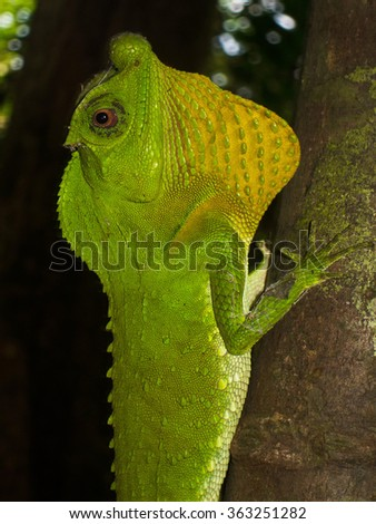 Large lizard in Sri Lanka rainforest - stock photo