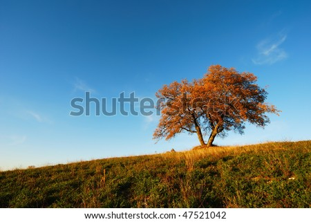 Large lonely oak tree with bright autumnal colors under blue sky
