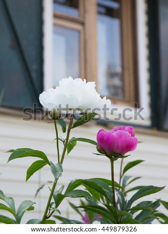 large lush fragrant flowers of bright purple and white ornamental peonies in the garden on a summer morning on the background of windows of the house - stock photo