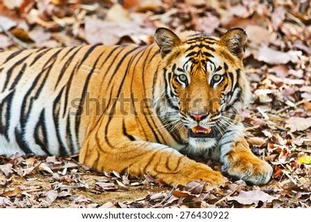Large male Bengal tiger in Bandhavgarh National Park, India - stock photo