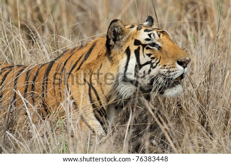 Large male Bengal tiger in the wild sneaking through the grasslands of the Kanha National Park, India