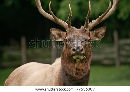 Large male bull Elk (Cervus canadensis) standing in a meadow