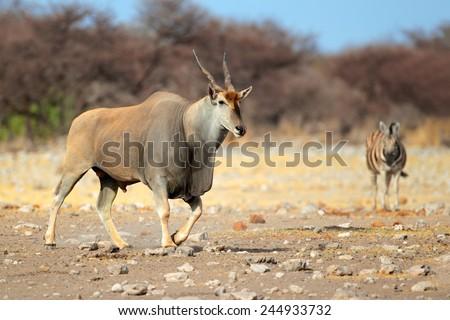 Large male eland antelope (Tragelaphus oryx), Etosha National Park, Namibia  - stock photo