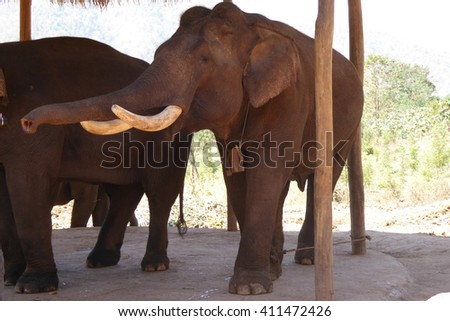 Large male elephant ,  Elephant conservation camp near Kalaw Myanmar (Burma)