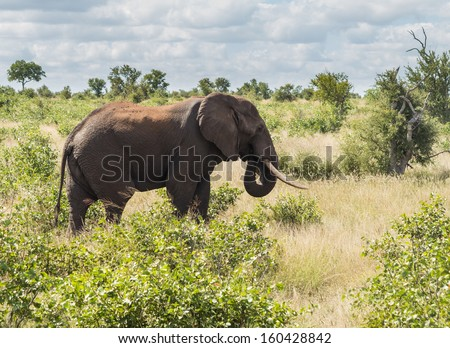 Large male elephant in Kruger National park in South Africa in profile photo against the bush - stock photo